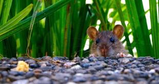 Ratten Zubehör