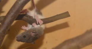 Rattenkäfig Einrichtung