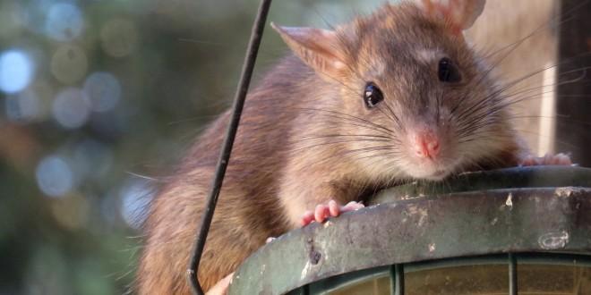 Rattenkäfig einrichten + Empfehlungen + Preisvergleiche